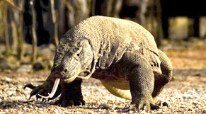 Komodo Tour Package 3 Days